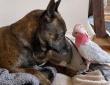 怪我をした野生の鳥を保護したところ、犬がそばに寄り添い続け、いつしか大親友に(オーストラリア)