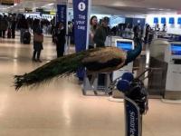 クジャクの搭乗を拒否された女性。飛行機の客席に乗せるサポートアニマル(支援動物)に関しての議論が高まる