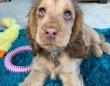 かわいみがすぎる。アニメのようなキラキラな目を持つコッカー・スパニエルの子犬にSNSがざわざわ(イギリス)