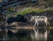 ハイイログマとハイイロオオカミがばったり遭遇(アメリカ・イエローストーン国立公園)
