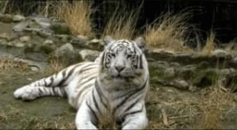 ホワイトタイガーに襲われて飼育員が死亡…絶滅危惧種でもこのまま殺処分か