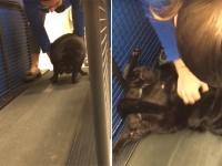 運動なんてしたくニャい!太りすぎた猫をルームランナーで運動させようとしたところ、全力死んだふり(アメリカ)