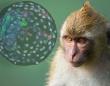 一部が猿で一部が人間。サルとヒトを融合したキメラ胚を生み出し、19日間成長させることに成功