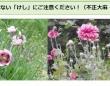 愛媛県ホームページ中予保健所「植えてはいけない「けし」にご注意ください!(不正大麻・けし撲滅運動)」より