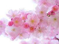 春のお出かけに! 大学生が行ってみたいと思う全国各地の桜の名所ランキング