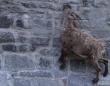 崖登りヤギとはオイラのことさ!「アルプス・アイベックス」がほぼ垂直のダムの壁面を登る理由