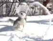 雪遊びのハスキー「エリザベスカラーってこのためにあるの?」と新たな楽しい使い道を発見してしまう