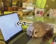 圧倒的猫化!キーボードの上に乗って飼い主に甘えるフクロウ