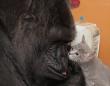 【訃報】人を愛し、猫を愛した手話でコミュニケーションのとれるゴリラのココが亡くなる。享年46歳