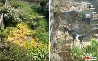 安全で楽な除草がしたい?簡単だよ。ヤギならね。ヤギ集団が6日間で裏庭の雑草をきれいにしていくタイムラプス動画