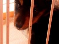 ※オークションで売れ残り、移動販売業者に引き取られたイヌ