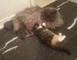 いじめてしまったらどうしよう。巨体で強面の先住猫に新入り子猫を会わせてみた、こうなった。