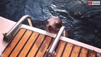 ニンゲンさん、お願いなんとかして!助けを求めてボートにまっしぐら!なアシカの子供