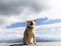 わんこと一緒に大パノラマを満喫!柴犬まる、秋の清里高原を駆け巡る!