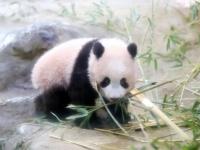 上野動物園で公開されたパンダ「シャンシャン」(写真:つのだよしお/アフロ)