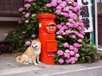 柴犬まるの鎌倉さんぽ~まるとあじさいの思い出~