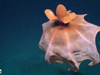 深海の生物ってやっぱりすごい!ヒラヒラと舞うその姿はまさに異星クリーチャーなタコが撮影される(アメリカ)