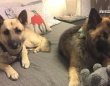 米国の犬の保護団体が、盲目の犬とそのパートナーの盲導犬を一緒に引き取ってくれる人を募集中