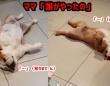 「誰がやったの?」飼い主にいたずらを責められると死んだふりする2匹の犬
