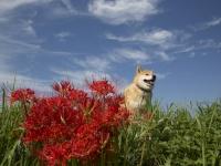 赤と緑はクリスマスだけじゃない!柴犬まる、曼珠沙華を見に行く