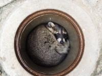 アライグマのカールくん(以下、茶臼山動物園提供)