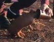 山火事から逃げてきたアルマジロの赤ちゃん、人間男性からお水をもらってほっと一息