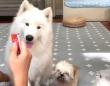 サモエド犬「早く早く!早く開けて!」見つけちゃったオヤツに心が先走る犬