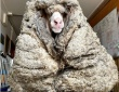 迷い羊が巨大毛玉化、35kg分の羊毛が刈り落とされたらすっきりスリムに!(オーストラリア)