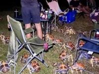 キャンプホラーサスペンス。ヤシガニの大群がバーベキュー会場を占拠する事案(オーストラリア)