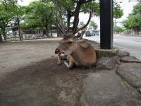 「鹿トドン」(画像はイメージ、kagawa_ymgさん撮影。flickrより)