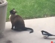 現代版トムとジェリー、キャスティングは猫とカササギだった件
