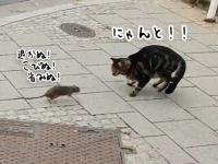 立場逆転!都会のネズミは猫を恐れないばかりか追い回す(ルクセンブルク)