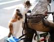 二足立ちで自転車の荷台に乗るオッドアイな猫