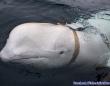 ロシアの生物スパイ兵器なのか?胴体にハーネスを巻かれたシロイルカがノルウェーで発見される
