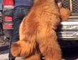 犬というより熊!重さ136キロのチベタン・マスティフは車に乗り込むのも一苦労