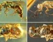 9900万年前の琥珀に閉じ込められた昆虫。まるでつい最近まで生きていたかのような姿(ミャンマー)