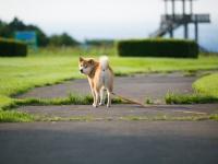 【最終回】柴犬まる「KUZUHA MALL」(くずはモール)でも人気爆発!