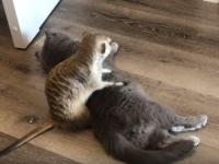 「キャットつながりだから~」ってことなのか?猫を布団代わりにしようとするミーアキャット