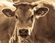 チュパカブラ?キャトルミューティレーション?内蔵と血を抜かれ生殖器を切り取られた牛の死体が複数発見される(アメリカ)