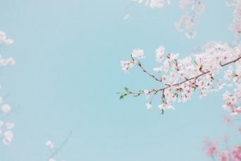 見たらラッキー。満開の桜の夢は「課題解決」の前兆