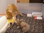 「パパだよ〜♪」と子猫に近づくも、一蹴されてしまうパパ猫。ママ猫とのやりとりも面白い!