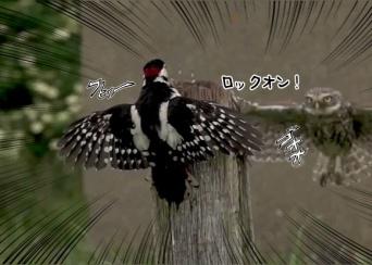 「誰が上なのかわからせてやる」圧倒的勝者感。フクロウがキツツキのいる木に舞い降りにらみつけるその威圧力ったら!