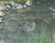 鯉が泳いでいると思ったら!アライグマ、おまえらかーい!アライグマ、池で風流に泳ぐ