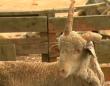 ビール2ケースと引き換えに譲り受けたのは、なんとユニコーン羊!?(オーストラリア)