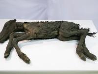 「マンモス展」で世界初公開される42,000年前の「古代仔ウマ」の完全体冷凍標本