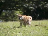 いよいよ柴犬シーズン、オン!柴犬まる、都内で秋の自然を満喫する