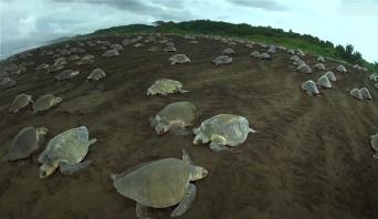 圧巻!カメとハゲワシそっくりのスパイカメラで撮影した2万匹のウミガメの出産シーン(コスタリカ)