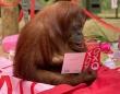人格を与えられた女性のオランウータン、34歳の誕生日をお祝い(アメリカ)