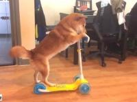 その辺ちょっと転がしてきていい?キックボード練習中の柴犬、さて初の路上はどうなった?
