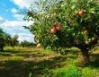 気になるりんごを1つ選んで、あなたの願いが叶うかどうかを占おう